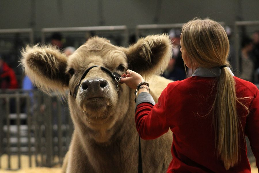 Junior Katelyn Brownd shows a steer at the Randall County Junior Livestock Show.
