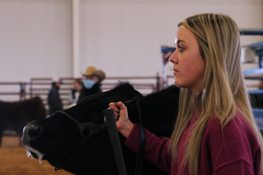 Freshmen Cross Koehler stands with her entry during the steer show. Students entering into the stock show often prepare and train their animals for weeks or months to achieve the best possible results.